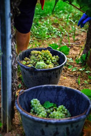 pinot noir: People working on vendange, vine harvest. Alsace, France.