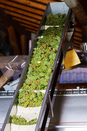 pinot noir: Automatic conveyor for grape bunches into the press, wine producing Stock Photo