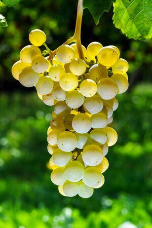 muscat: Muscat grape bunch on the sun, vine harvest, France