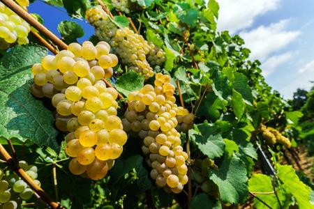 wine grape: Muscat grape bunch on the sun, vine harvest, France