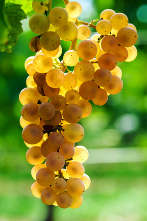 pinot noir: Muscat grape bunch on the sun, vine harvest, France