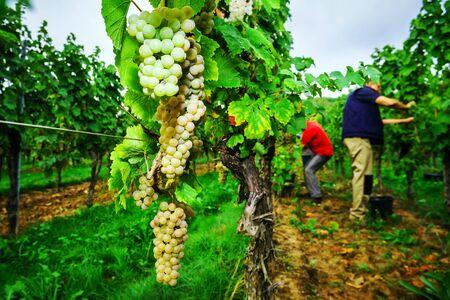 wine grape: People working on vendange, vine harvest. Alsace, France.