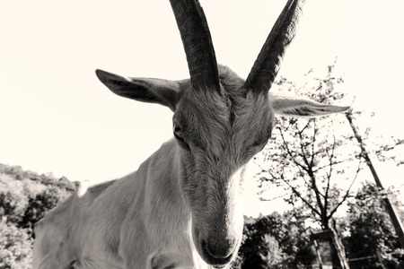animals horned: Emotional portrait of horned goat, farm animals
