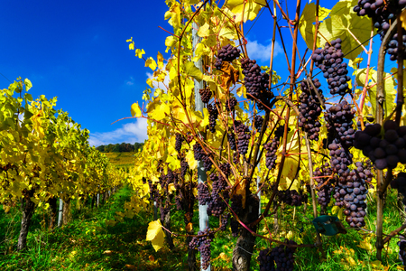wine road: Autumnal colors of alsacien vineyards, France, season specific