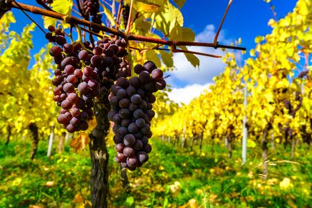 season specific: Autumnal colors of alsacien vineyards, France, season specific