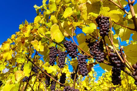 vinery: Autumnal colors of alsacien vineyards, France, season specific