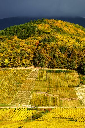 wine road: Vivid colors of autumn vineyards in Andlau, Alsace. Contrast colorful weather. Season concept. Stock Photo