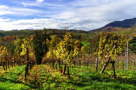 vinery: Beautiful landscape of alsacien hills with vineyards, seasonal concept