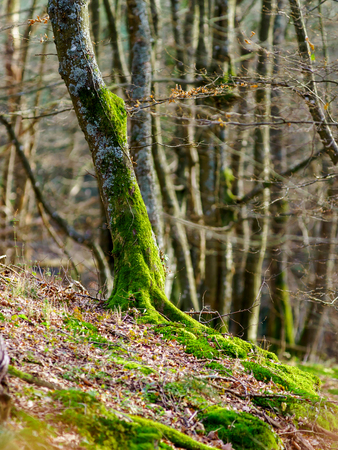 mistery: Beauty of winter forest with moss, sunny day, nature concept