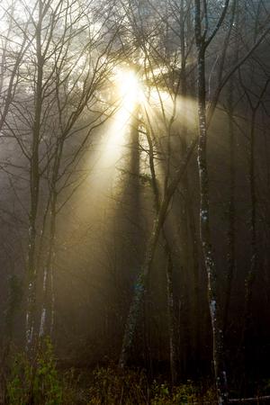 natur: Winter tree silhouette in great fog, natur concept