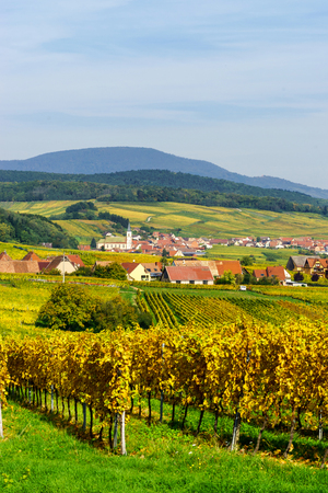 wine road: Alsacien landscape with yellow vineyards, nature of France