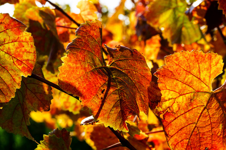 pinot: Colorful golden leaves of grape, Alsace, France