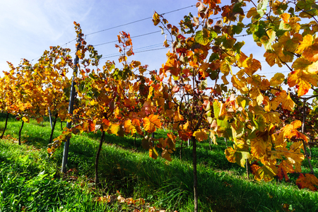wine road: Colorful autumnal  vineyards of Alsace, France, agricultural concept