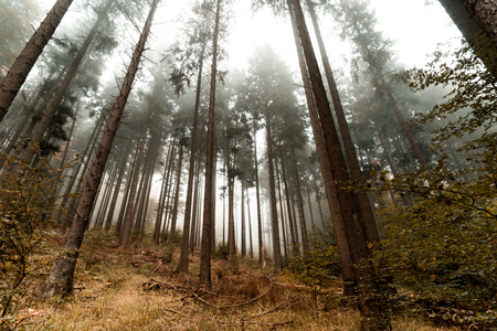 heed: Beautiful pinetrees in the foggy forest, french nature, autumn Stock Photo