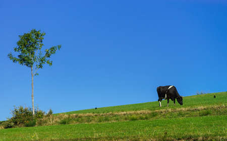 pasturage: French cows on green field pasturage, summer sunny day, vivid colors Stock Photo