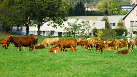 pastureland: French cows on green field pasturage, summer sunny day, vivid colors Stock Photo