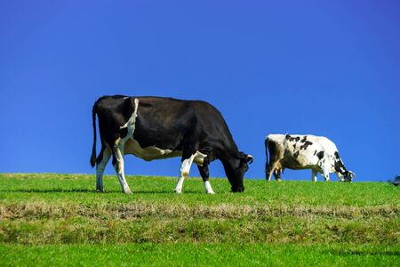 cattle breeding: French cows on green field pasturage, summer sunny day, vivid colors Stock Photo