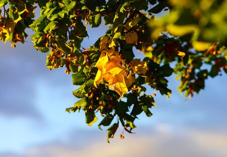 lime blossom: Dried lime blossom on sunset light, season concept Stock Photo