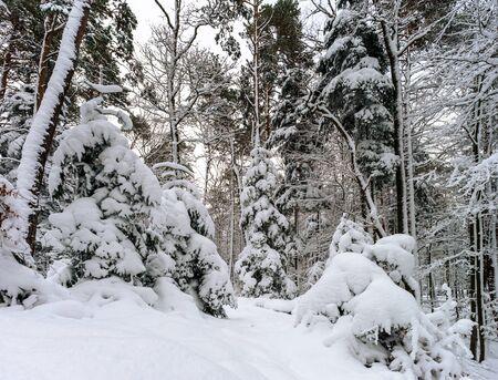 mistery: Beautiful snowy forest landscape, season concept, Alsace, France