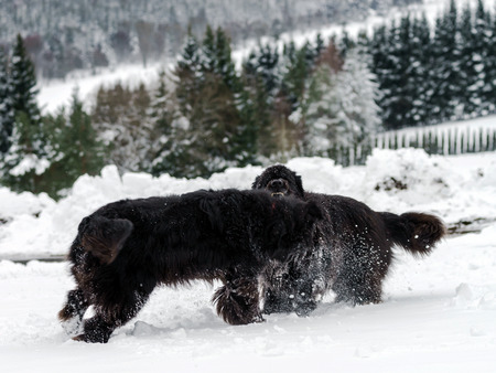 flurry: Two black water-dogs playing in snow, season specific