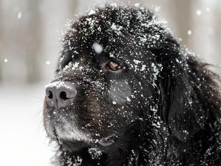 Beautiful big newfondlander dog in snow portrait