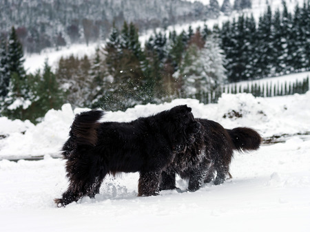 season specific: Two black water-dogs playing in snow, season specific