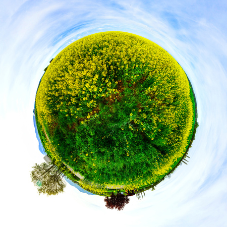 flowering field: Little planet view of green and yellow flowering field, spring