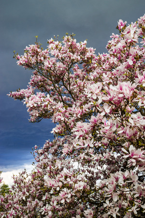 Blooming magnolia tree on stormy sky background, seasonal specific Stock Photo