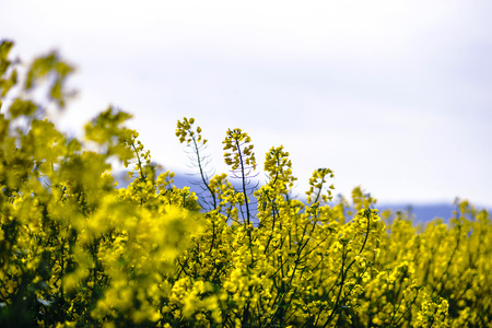 Beautiful colza flowering, yellow field of rape, spring in France Stock Photo