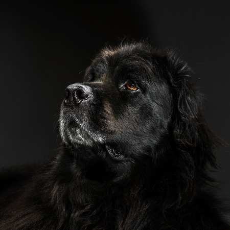 emotive: Portrait of big black water-dog, studio shooting, isolated on dark background
