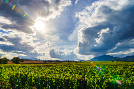 Beautiful sunlight over vineyards with blue sky and mountains on horizon, Alsace, France
