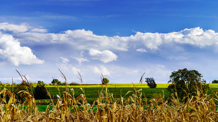 Ripe corn and vivid blue sky with beautiful clouds, season specific Stock Photo