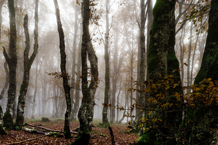 Beautiful autumnal forest with fog, moss and red leaves, Alsace, France