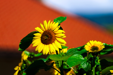 Beautiful sunflower on blue sky background, summer day, season specific