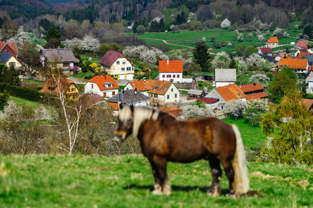 plowing: Brabancon belgian horse on the farmland pasturage, Alsace, France Stock Photo