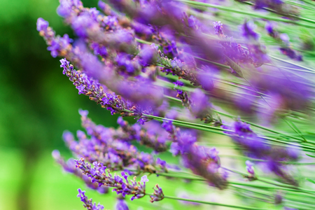 Lavender violet  flowers in the garden, summer day, nature Stock Photo