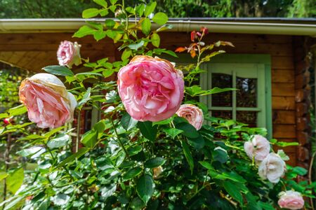 Beautiful pink roses in the garden, summer day