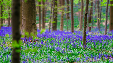 bruxelles: Magic blue forest near Bruxelles, springtime flowering, Belgium