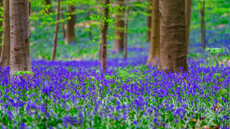 Magic blue forest near Bruxelles, springtime flowering, Belgium