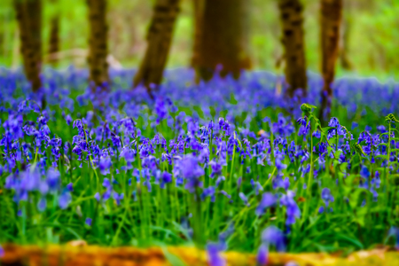 Magic blue forest near Bruxelles, springtime flowering, Belgium