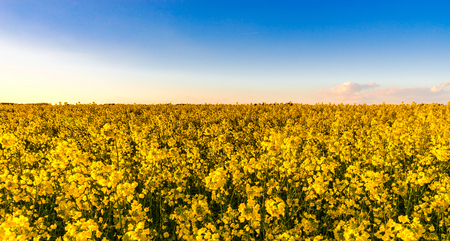 Majestic colorful sunset over the yellow fields, natural landscape