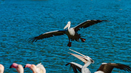 Beautiful pelican grounding to the lake side, big wings, proudly bird, Sigean, France