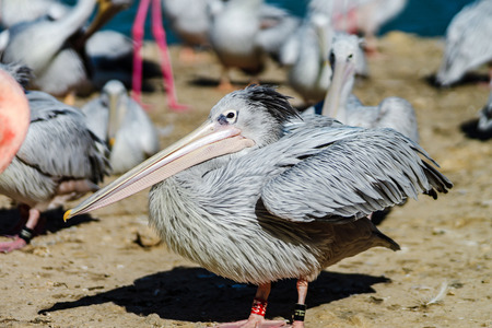 Pelican is the important personagein colony of birds, France