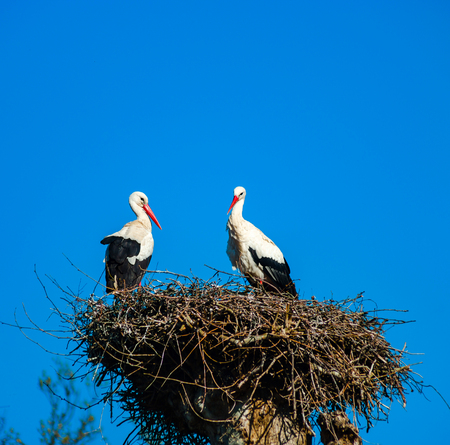 Beautiful white storks in the nest on blue sky backgroung, springtime, Strasbourg