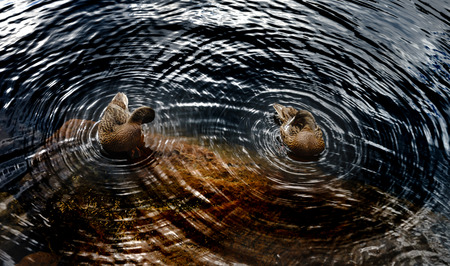 Circles around two ducks on the water of lake, geometrical explanation of wave theory