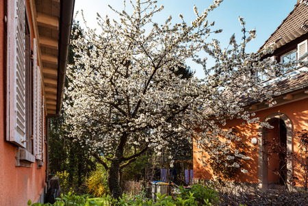 Cherry trees flowering at spring, Strasbourg, Alsace, France Stock Photo