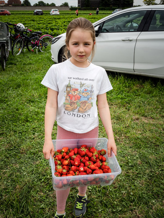 The child picks ripe strawberry in the field. The girl eats strawberry with pleasure. France. Standard-Bild