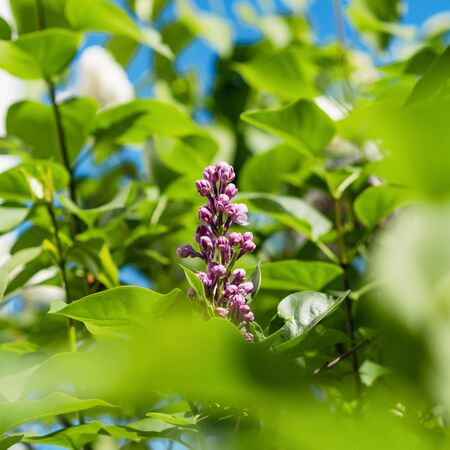 Blooming lilac in the gardens of Strasbourg. Spring tenderness and beauty. The sun. France