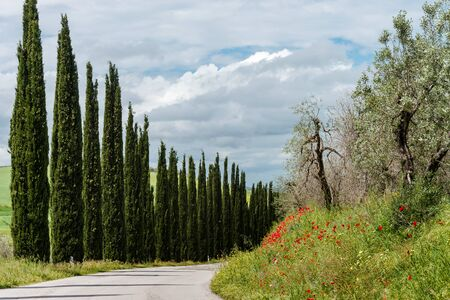 Stunning Tuscan landscape. An outgoing road framed by cypresses. Blooming red poppies. Italy.