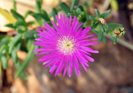 iceflower: Fiore rosa di ghiaccio